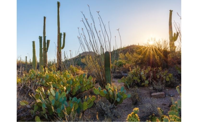 Sonoran sunrise on desert cacti